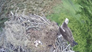 WATCH: Osprey chick hatches in Lake District