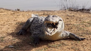 Man-eating Nile crocodiles discovered in Florida