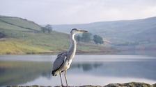 Grey Heron Norden Rochadle  TERRY ANGUS