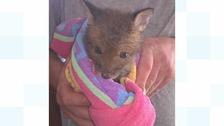 """Fox cub found """"near death"""" with its head stuck in a plastic jar"""