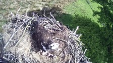 Osprey success: 2 chicks and another egg to hatch 'any time'