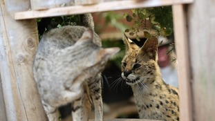 Serval cat Squeaks (right) and Imogen, a Savannah, at their home in Great Wakering, Essex