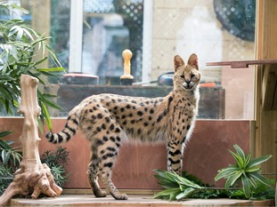 Serval cat Squeaks at his home in Great Wakering, Essex