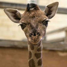Adorable baby giraffe hand reared by keepers after mother rejects him
