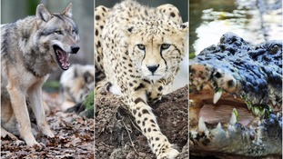 Grey wolves, cheetahs and crocodiles are among the animals being kept as pets.