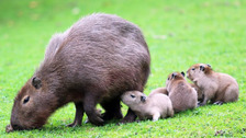 Little capybara pups have been welcomed by parents Charlie and Lola.