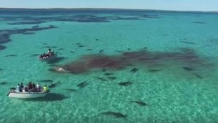 Drone films sharks feasting on huge humpback whale