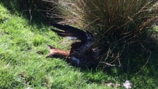 Another red kite found dead in North Yorkshire