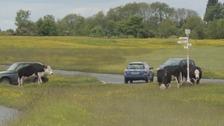 Cows grazing on Minnichinhampton