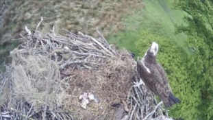 Magpies kill two rare osprey chicks