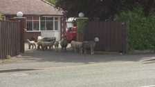 The sheep flocked onto other roads, into the industrial estate, and onto driveways.