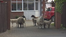 WATCH: Sheep flock onto busy Carlisle road