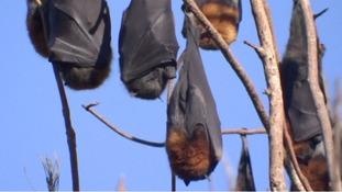State of emergency as 100,000 bats descend on Australian town