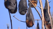 Emergency declared as 100,000 bats descend on Australian town