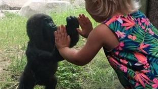 Gorilla Gus becomes Facebook's favourite animal