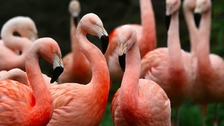 Chilean flamingos.