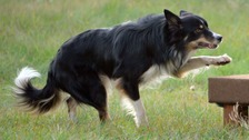 A border collie.