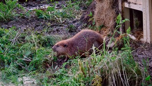 Beavers released at Devon secret location