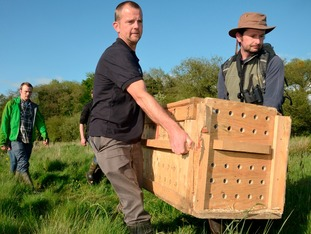 Beavers being carried to the secret release site in East Devon.