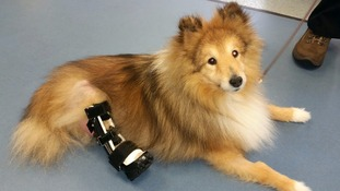 Dog with robotic legs walks again after pioneering treatment