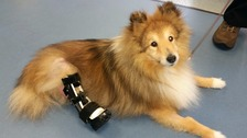 Dog with robotic legs finally walks again