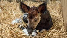 Adorable okapi makes big waves for conservation
