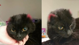 A cat has been found in Derry with severely damaged ears.