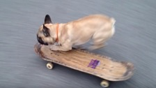 Bulldog who taught himself to skate becomes online star