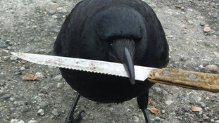 Canuck the crow accused of stealing knife from crime scene