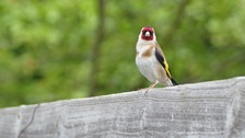 A goldfinch in Yaxley
