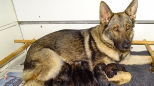 A new generation of police dogs is born
