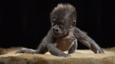 Bristol's baby gorilla is growing up fast