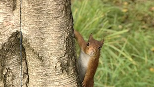 Red Squirrel project in southern Scotland