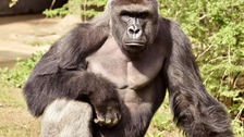 Gorilla shot dead after it grabbed four-year-old boy