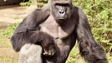 Fury after gorilla shot when boy crawled into enclosure
