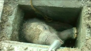 Baby elephant rescued after falling down drain