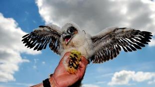 A young Peregrine Falcon