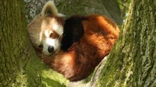 The cute red panda was having a snooze in the sunshine