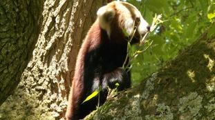 Charu feeding on some bamboo shoots