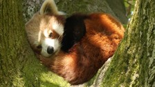 Lakes Wildlife Park welcomes male red panda