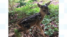 'Twiggy' the Roe Deer fawn at just a day old.