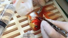 nemo the goldfish having surgery