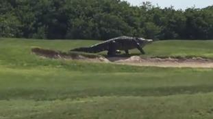 Jurassic-sized alligator prowls around golf course