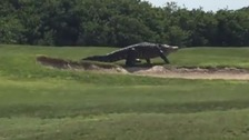 The alligator is said to be a 'mascot' at the course