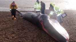 Experts study the dead whale