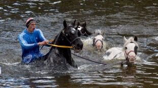 Horses bathe in the River Eden at the Horse Fair in Appleby, Cumbria, the annual gathering of gypsies and travellers.