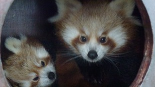 The red panda twins