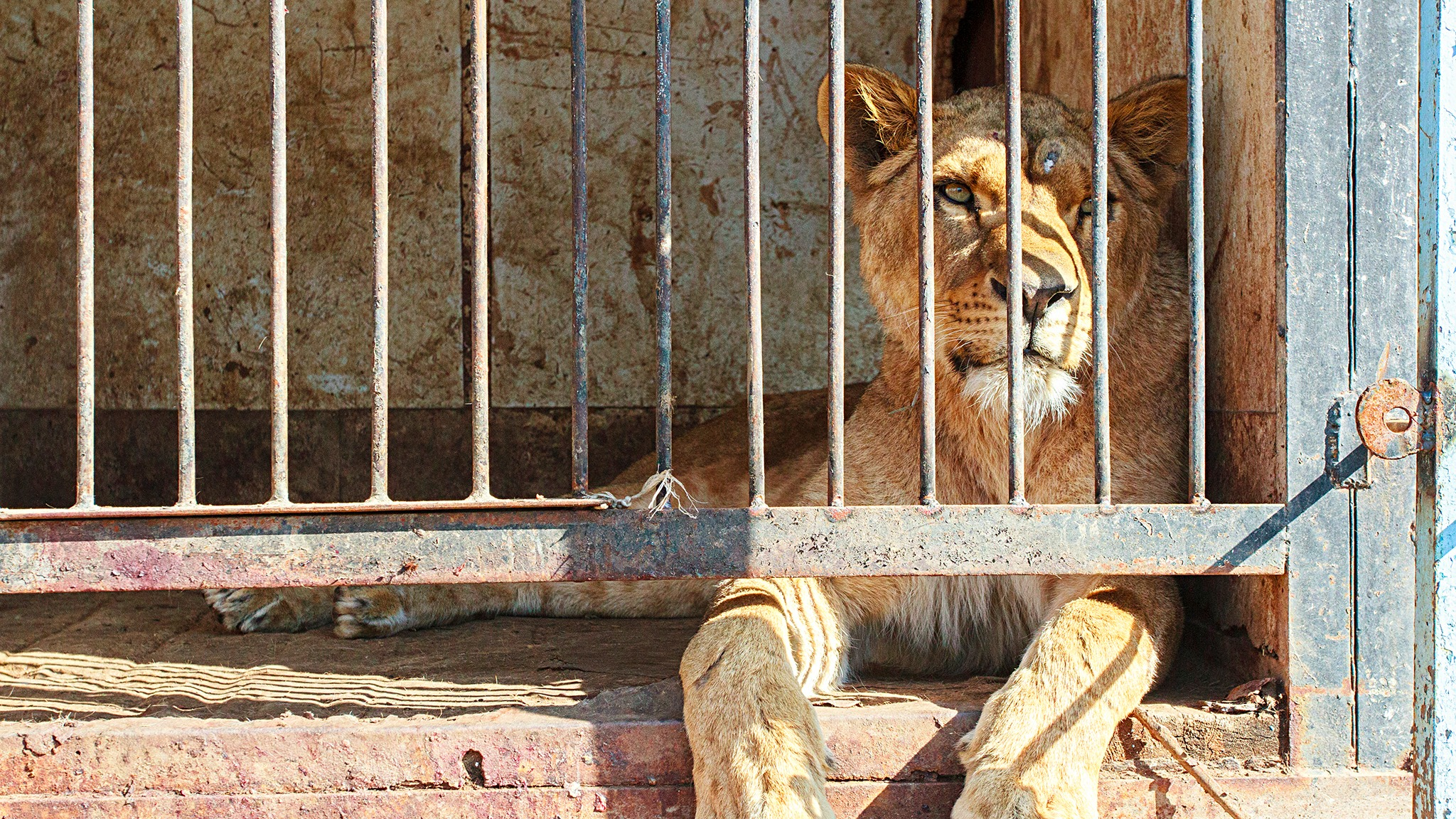 Campaign To Bring Mistreated Armenian Lions To Tenby