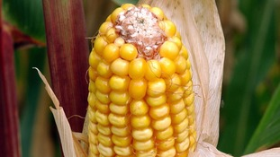 A genetically modified maize crop