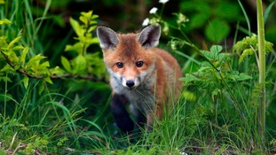 Foxes guilty of chewing through drivers' brakes, police say